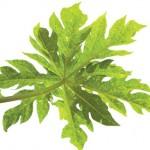 beneficios, calidad de vida, té verde, propiedad curativas, sustancias polifenoles, diuretico, antidiarreico.