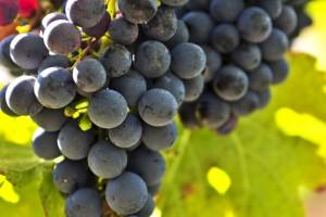 La presencia de antioxidantes en las uvas y sus derivados evitan la oxidación del colesterol y su acumulación en las arterias, lo que evita el bloqueo y la formación de coágulos.