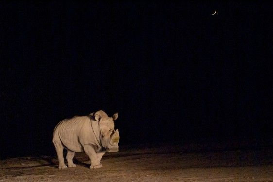 Rinoceronte en la noche
