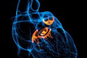 Modelo 2D corazón destacando valvulas