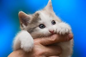 Gatito mordiendo un dedo de una mano en fondo azul