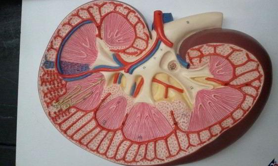 Modelo de pasta de un riñon cortado