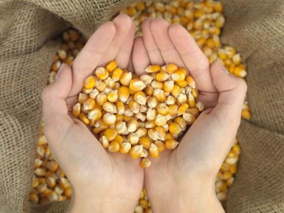 Manos juntas y con granos de maíz que forma un corazón en el fondo un costal de maíz