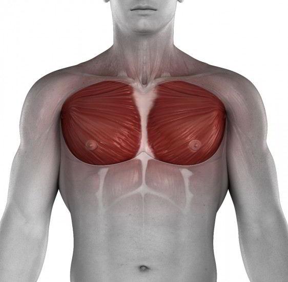 Músculos del pecho masculino
