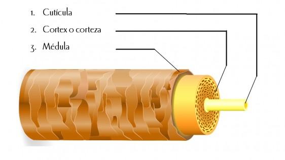 Ilustración de la estructura del cabello