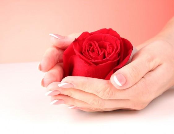 par de manos de mujer sosteniendo rojo rosa sobre fondo rosa