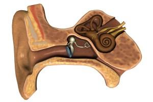 Ilustración con los huesos y órganos del oido