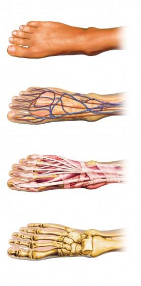 Huesos, músculos, articulaciones del pie