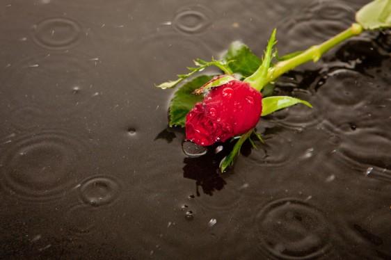 Rosa roja tirada en una calle de asfalto de un día lluvioso