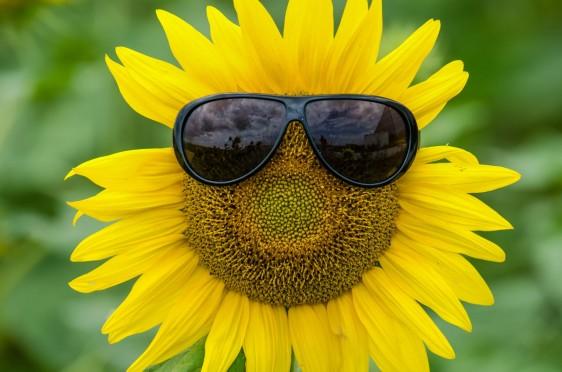 Girasol con lentes de sol