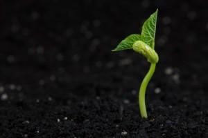 Una planta de frijol por el cuidado de la fertilidad