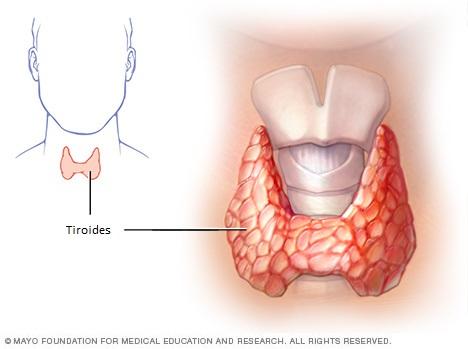 La tiroides es una glándula pequeña y en forma de mariposa que se ubica en la base delantera del cuello. Las hormonas producidas por la tiroides, la triyodotironina (T3) y la tiroxina (T4), afectan todos los aspectos del metabolismo: mantienen la velocidad con la que el cuerpo utiliza las grasas y los carbohidratos, ayudan a controlar la temperatura corporal, influyen sobre la frecuencia cardíaca y ayudan a regular la producción de proteínas.