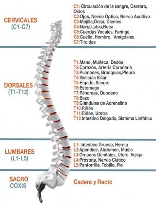 La columna y su relación con los órganos