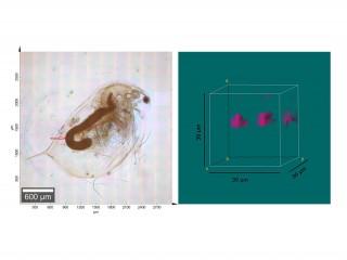 Imagen microscópica de una pulga de agua (Daphnia magna) y análisis microscópico Raman de un segmento (marco verde en la imagen izquierda) en el intestino del animal. Las áreas de color magenta en la imagen de la derecha muestran partículas de PVC ingeridas por el animal.