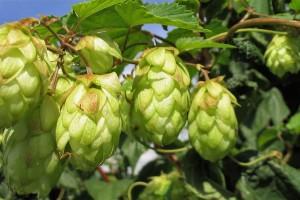 El lúpulo usado en la fabricación de la cerveza, podría disminuir los síntomas del climaterio.