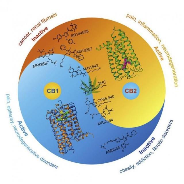 Condiciones que pueden verse afectadas por la activación o inhibición de los receptores de cannabinoides tipo 1 (CB1) o tipo 2 (CB2) de forma independiente.