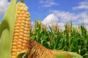 México, quinto lugar mundial en producción del grano.
