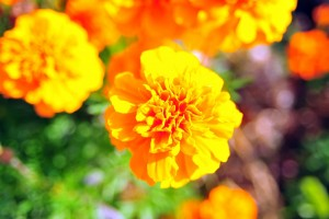 Además de ser una bella flor que enmarca el día de muertos, es una planta que goza de propiedades medicinales.