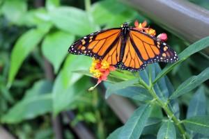 Santuario de la mariposa monarca en Michoacán.