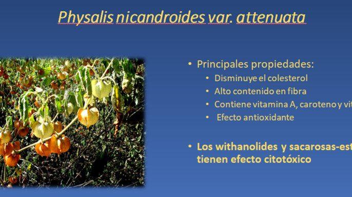 Diapositiva de la planta Physalis nicandroides
