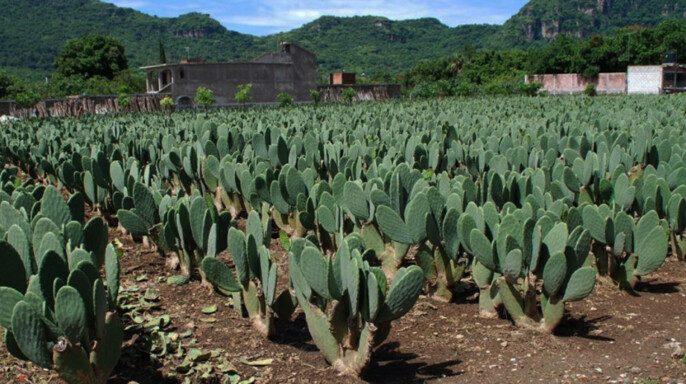 Cultivo de nopal